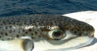 اسماك البحر المتوسط وطرق صيدها، سمكة الأرنب السامة،اسمال البحر الابيض المتوسط السامة