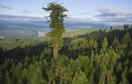 اطول شجرة في العالم 367