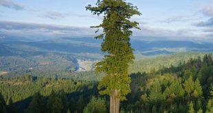 اين توجد اطول شجرة في العالم