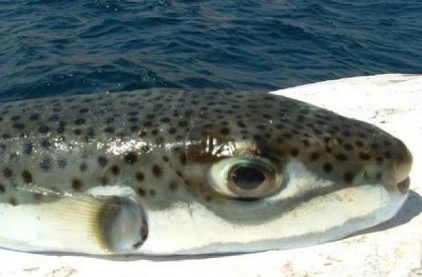 اسماك البحر المتوسط وطرق صيدها، سمكة الأرنب السامة،اسماك البحر الابيض المتوسط السامة