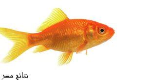 عدد مرات اطعام سمك الزينة
