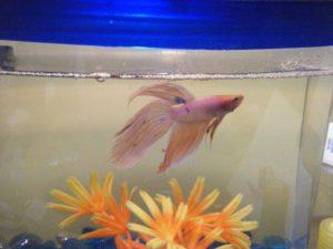انقاذ سمك الزينه من الموت