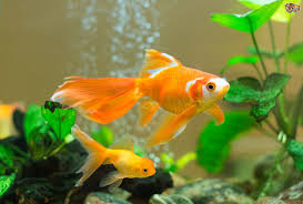 كم مره اطعم سمك الزينه في اليوم
